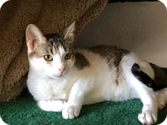 Turkish Van Cat for adoption in Houston, Texas - Sasha