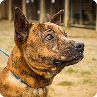Pit Bull Terrier Mix Dog for adoption in Jasper, Alabama - Short Stop
