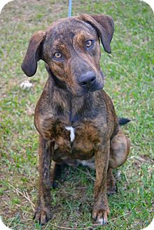 Black Mouth Cur Mix Dog for adoption in Beaumont, Texas - Tiger Lilly