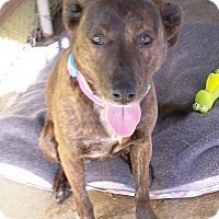 Adopt A Pet :: Abby - Franklin, NH