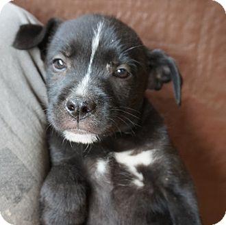 Labrador Retriever/Australian Shepherd Mix Puppy for adoption in Oviedo, Florida - Lady