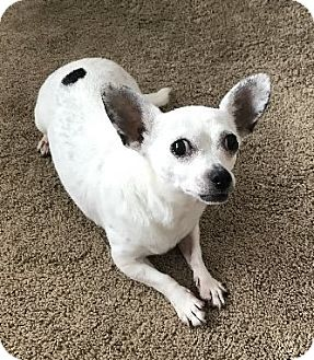 Chihuahua Mix Dog for adoption in Avon, New York - Minnie