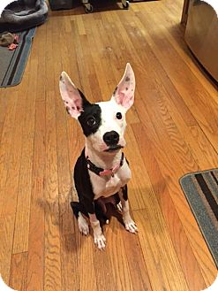 Boston Terrier/Whippet Mix Dog for adoption in Brookeville, Maryland - Lilo