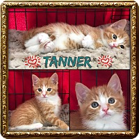 Adopt A Pet :: Tanner - Jeffersonville, IN