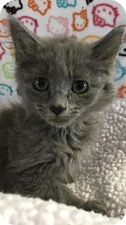 Domestic Mediumhair Kitten for adoption in Fountain Hills, Arizona - ZACK