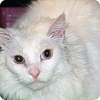 Adopt A Pet :: Snowball - Wildomar, CA