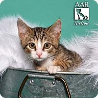 Domestic Shorthair Kitten for adoption in Tomball, Texas - Nielson