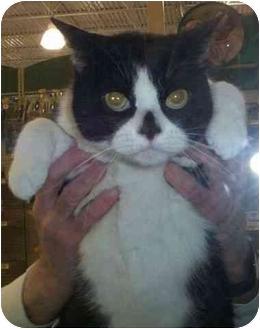 Domestic Shorthair Cat for adoption in Reston, Virginia - Pierre