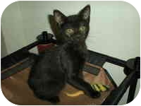 Domestic Shorthair Kitten for adoption in Tampa, Florida - Becky