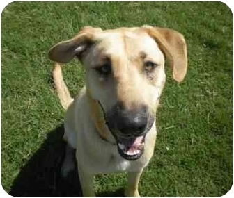 Labrador Retriever/German Shepherd Dog Mix Dog for adoption in Patterson, California - BUSTER