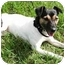Photo 1 - Rat Terrier Dog for adoption in Osseo, Minnesota - Katie
