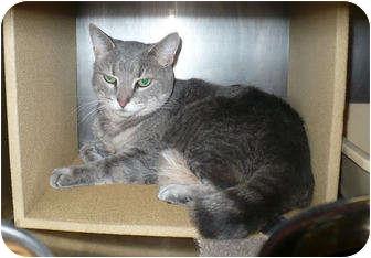 Domestic Shorthair Cat for adoption in Colmar, Pennsylvania - Noelle