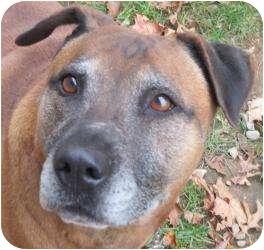 Rhodesian Ridgeback/Pit Bull Terrier Mix Dog for adoption in Bloomfield, Connecticut - Mocha