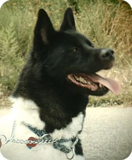 Akita Dog for adoption in Toms River, New Jersey - Sushi