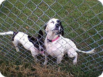 Spaniel (Unknown Type) Mix Dog for adoption in Huntsville, Alabama - Faith