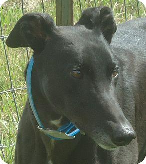 Greyhound Dog for adoption in Longwood, Florida - WS Derby Hat