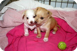 Chihuahua/Terrier (Unknown Type, Small) Mix Puppy for adoption in Estes Park, Colorado - Two Puppies!