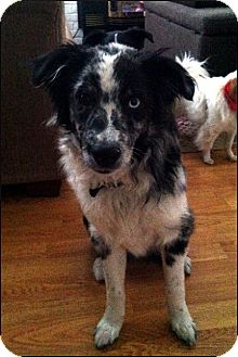 Australian Shepherd Dog for adoption in Colville, Washington - Oscar