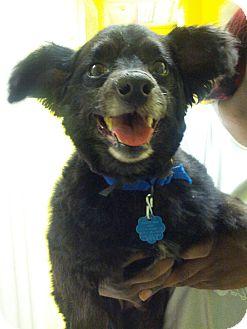 Pomeranian Mix Dog for adoption in Philadelphia, Pennsylvania - Cutie Pie