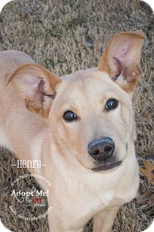 Labrador Retriever Mix Puppy for adoption in McKinney, Texas - Henry
