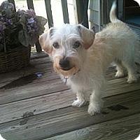 Adopt A Pet :: Noah - New Milford, CT