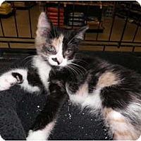 Adopt A Pet :: Patchouli - Warren, MI