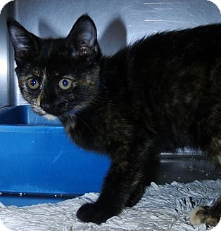 Domestic Shorthair Cat for adoption in Brooksville, Florida - 1024189
