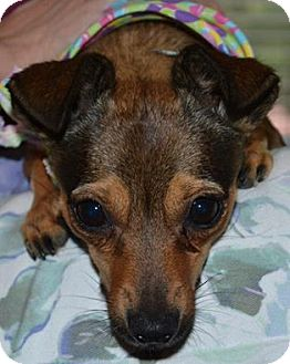 Chihuahua Mix Dog for adoption in Germantown, Tennessee - Poquita