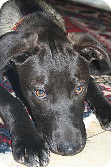 Labrador Retriever Mix Puppy for adoption in CHICAGO, Illinois - GUNNAR