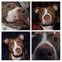 Adopt A Pet :: Joy - East Rockaway, NY