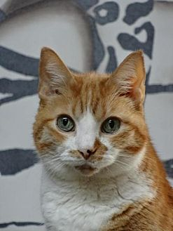 Domestic Shorthair Cat for adoption in Spring Branch, Texas - Ms Ginger