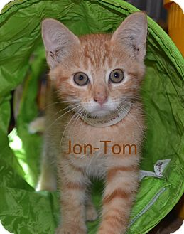 Domestic Shorthair Kitten for adoption in Warren, Ohio - Jon-Tom