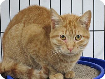 Domestic Shorthair Cat for adoption in Norwich, New York - Sally Anne