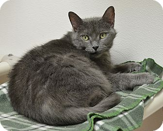 Domestic Shorthair Cat for adoption in Springfield, Illinois - Charlotte