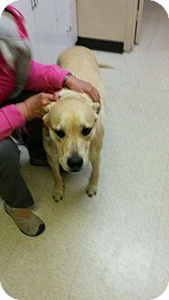 Labrador Retriever/Pit Bull Terrier Mix Dog for adoption in Ogden, Utah - Mister