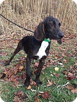 Hound (Unknown Type) Mix Dog for adoption in Mt. Clemens, Michigan - Hemi