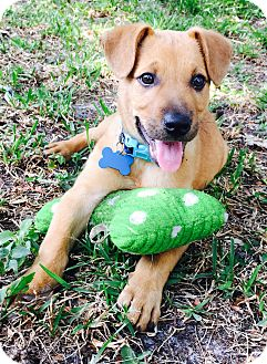 German Shepherd Dog/Hound (Unknown Type) Mix Puppy for adoption in Palm Harbor, Florida - Milo