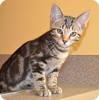 Domestic Shorthair Kitten for adoption in Larned, Kansas - Ares
