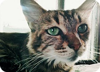 Domestic Mediumhair Cat for adoption in Mt Pleasant, Pennsylvania - Kailua