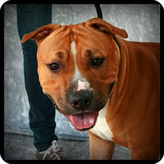 Pit Bull Terrier Mix Dog for adoption in Toms River, New Jersey - Hulk
