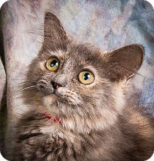 Domestic Mediumhair Kitten for adoption in Anna, Illinois - RHEA