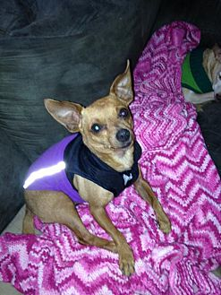 Miniature Pinscher Dog for adoption in Leesport, Pennsylvania - Chico