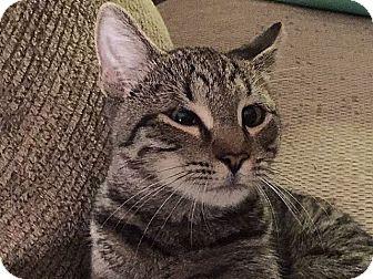 Domestic Shorthair Cat for adoption in Tampa, Florida - Refurbish