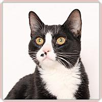 Adopt A Pet :: Cindi Pawfurr - Glendale, AZ
