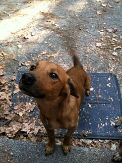 Dachshund/Retriever (Unknown Type) Mix Dog for adoption in Decatur, Georgia - Montgomery