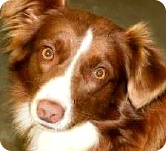 "Australian Shepherd Dog for adoption in Wakefield, Rhode Island - BABY(""MINI"" AUSTRALIAN SHEP!!"