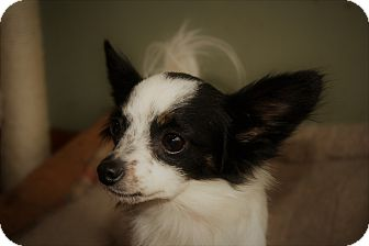 Papillon Mix Dog for adoption in Rising Sun, Maryland - Wendy