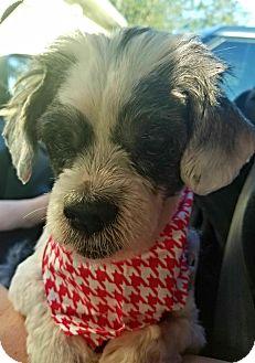 Shih Tzu/Havanese Mix Dog for adoption in Deltona, Florida - Duke