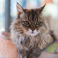 Domestic Longhair Cat for adoption in Kanab, Utah - Edna