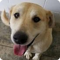 Labrador Retriever Mix Dog for adoption in Paducah, Kentucky - Biscuit
